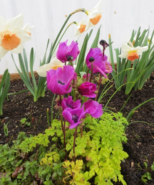 Narcissi and Anemone in Payson Hall Planter