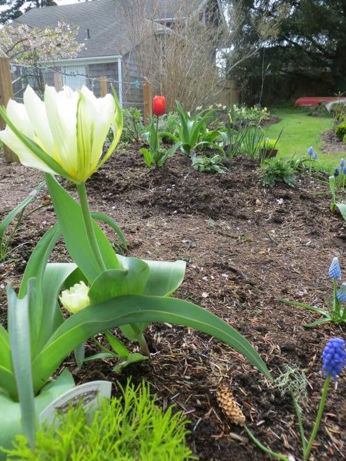 Nancy's tulips