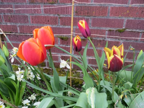 Maroon and Yellow Tulip 'Gavota' goes well with brick.