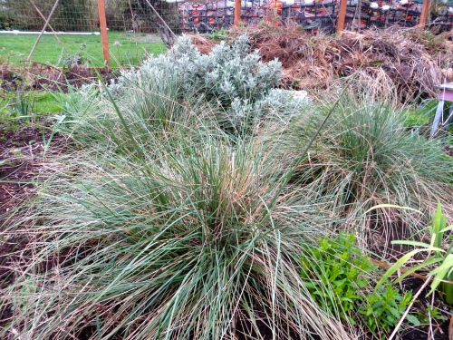 Stipa gigantea backed with clean debris heap and crab pots