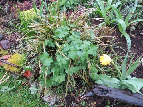 that pesky hardy geranium