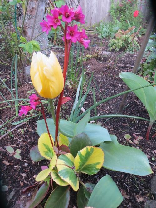 tulip and bergenia