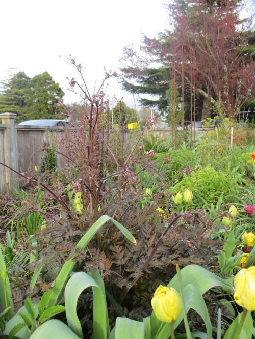 Anthriscus sylvestris 'Ravenswing', front garden