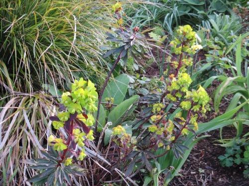 back garden: Euphorbia