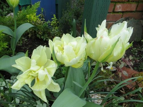 Tulips 'White Parrot'