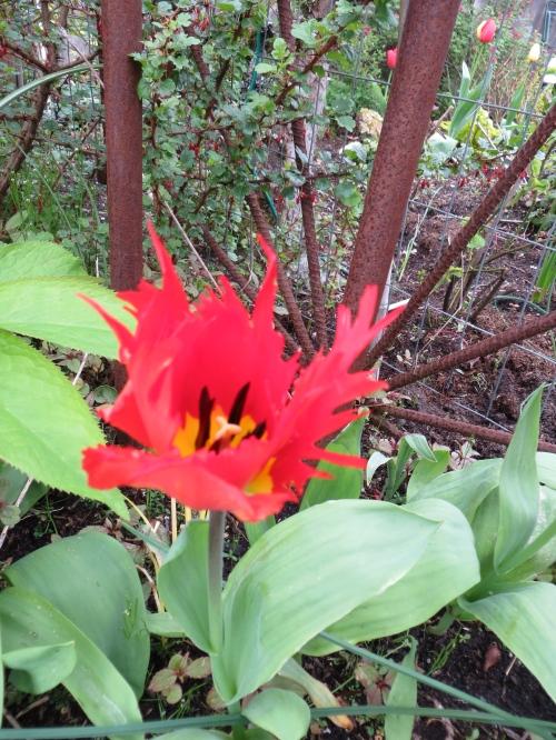 Tulip 'Leo'