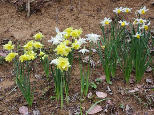 Narcissi on the bank