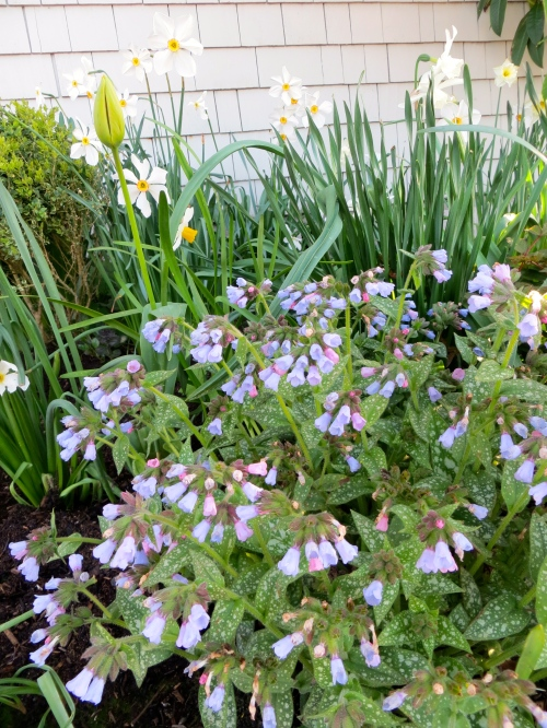 Pulmonaria at city hall