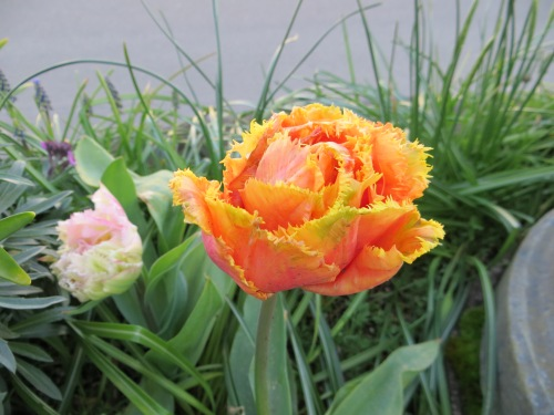 in a planter: Tulip 'Sensual Touch'