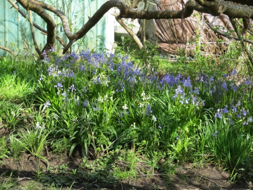 scilla planted outside the bogsy wood fence