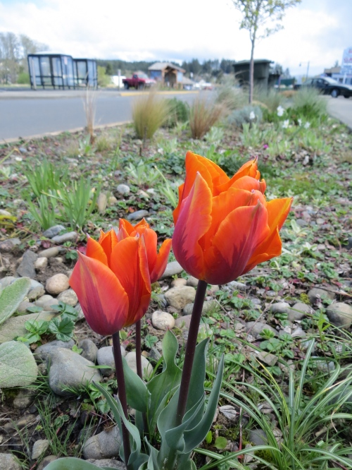 early tulip by Howerton Street