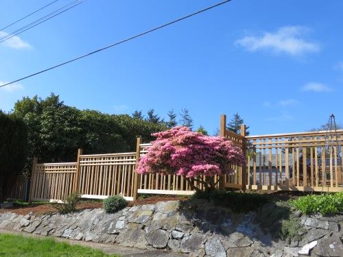 fence with azalea