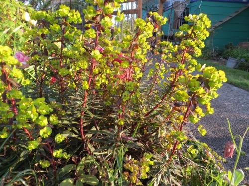 a Euphorbia