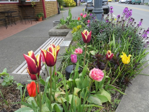 Hungry Harbour:  The Gavota tulips are from last year.