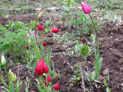 mulitflowering Tulip 'Red Bouquet' looking good against the new mulch