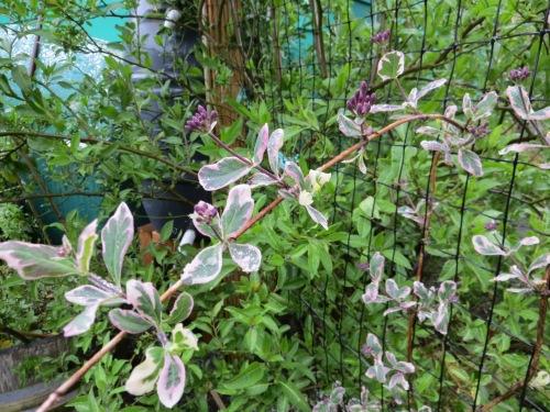 buds on variegated honeysuckle