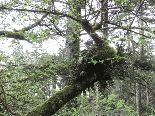 licorice fern in tree