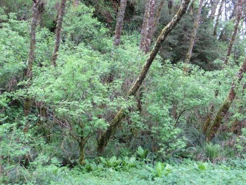 elderberry grove
