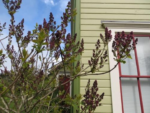 Wiegardt lilac