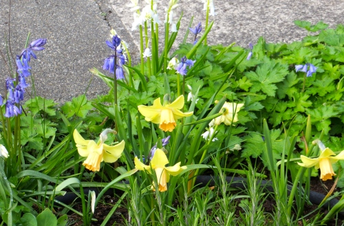 narcissi...and scilla