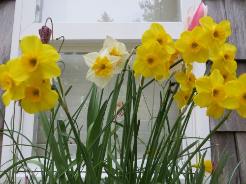 narcissi in cottage windowbox