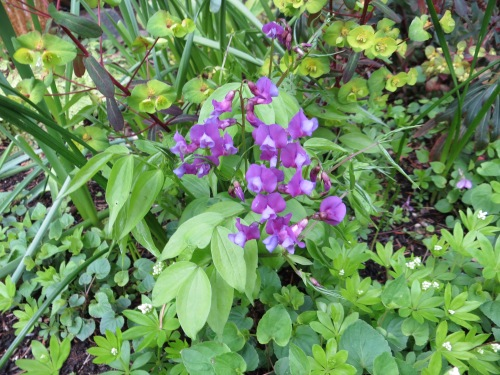 Lathyrus vernus from Joy Creek Nursery