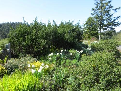 Ceanothus (California lilac) backdrop