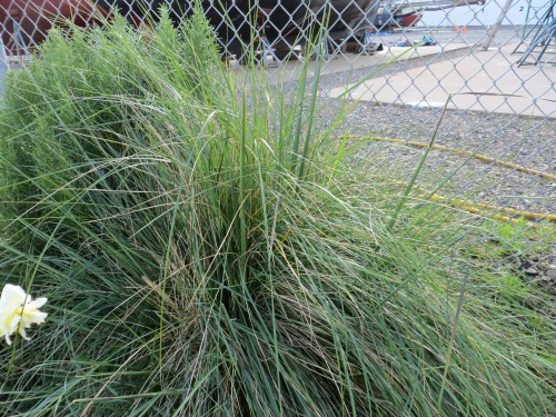 healthy Stipa gigantea