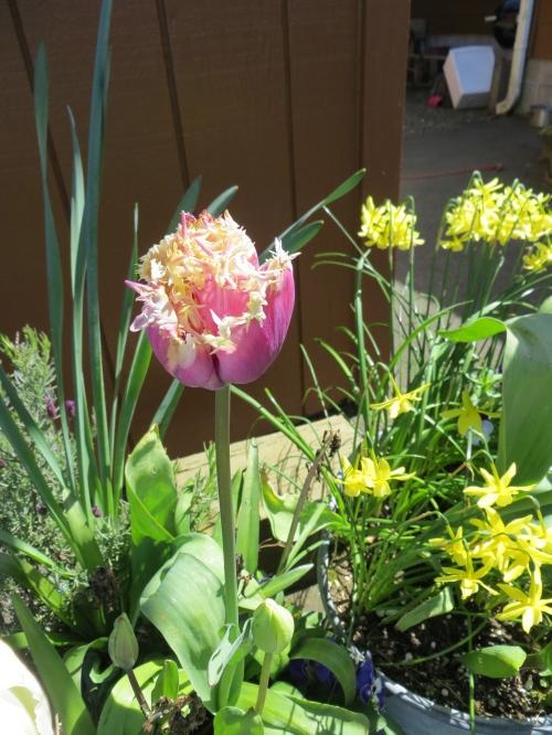 'Cummins', a favourite tulip, got wrecked by rain...
