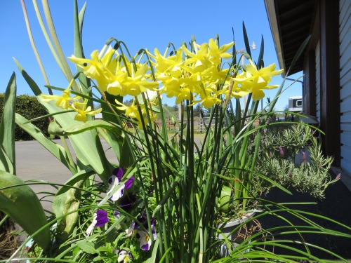 The narcissi are allowed to be bright.