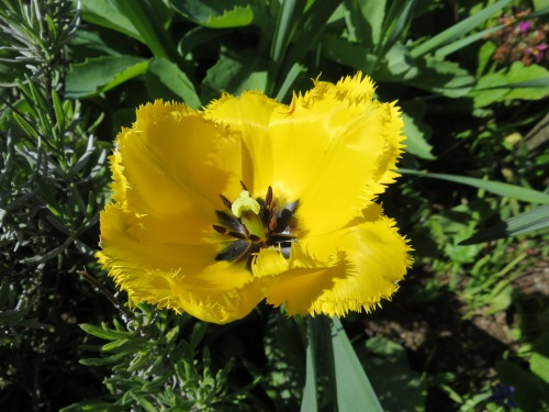 a fringed tulip basks in the sun
