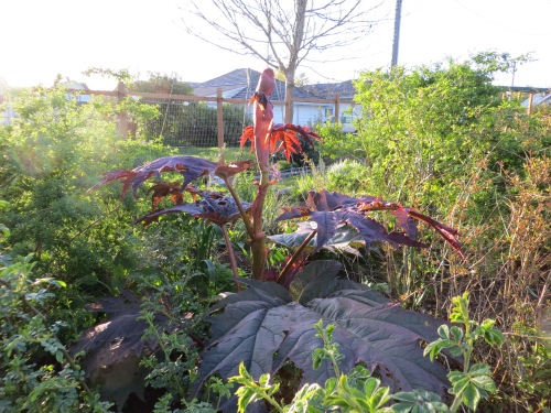 ornamental rhubarb
