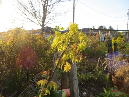 golden cutleaf elderberry