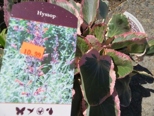 Agastache and Eryngium