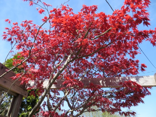 one of Patti's maples