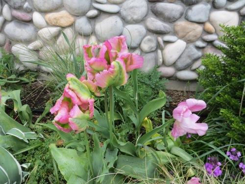 Tulip 'China Town'
