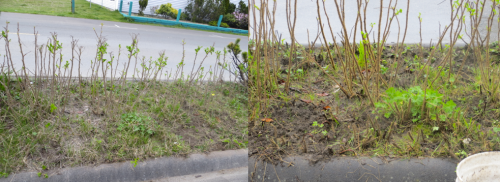 left: yesterday at duskright: after one more weeding attempt today