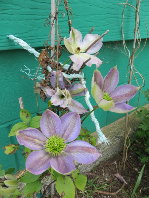 a clematis on the garage wall