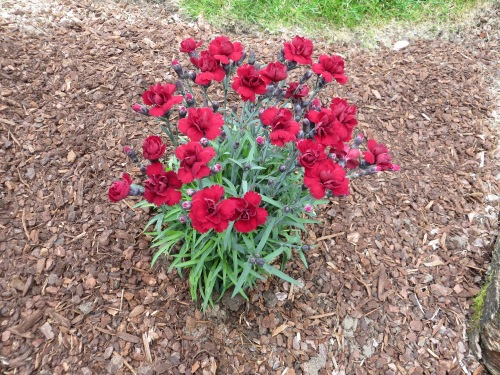 another Dianthus