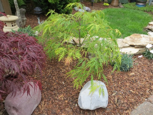 one of the three new maples recently acquired from The Planter Box
