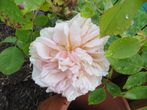 a new rose