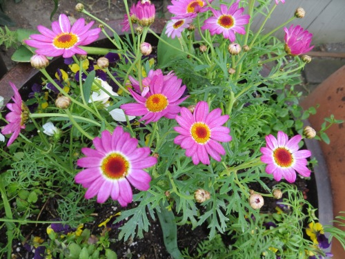 Agyranthemum 'Madeira Deep Pink'