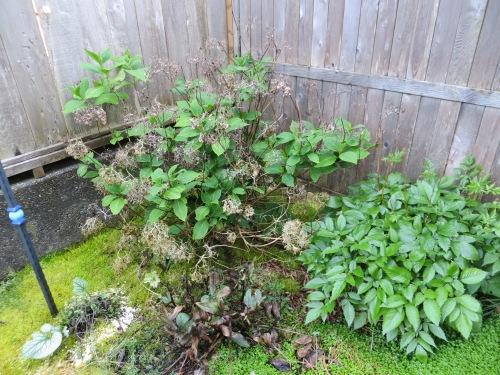 hydrangea corner before