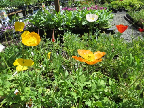 beautiful poppies for sale at The Planter Box