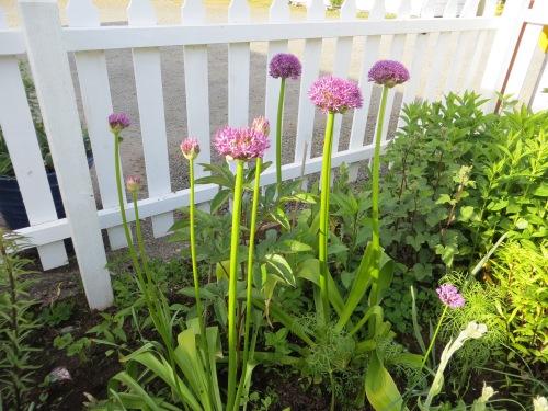picket fence garden with Alliums
