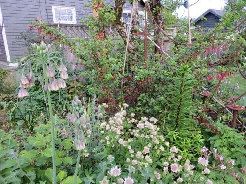 at home:  Allium bulgaricum, Astrantia, red tubular barberry