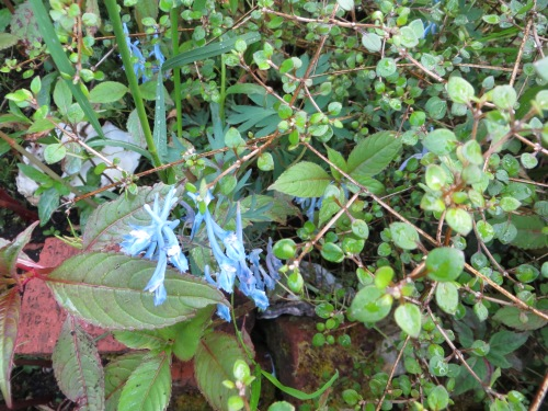 I found a corydalis hiding almost out of sight.