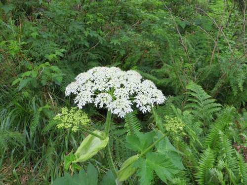 cow parsnip? maybe