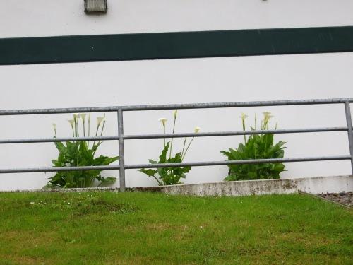 calla lilies against a higher building