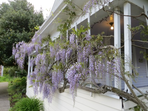 Wisteria at First and Eagle